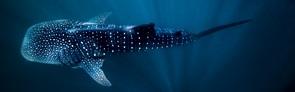 3-Night-Swim-With-Whale-Sharks